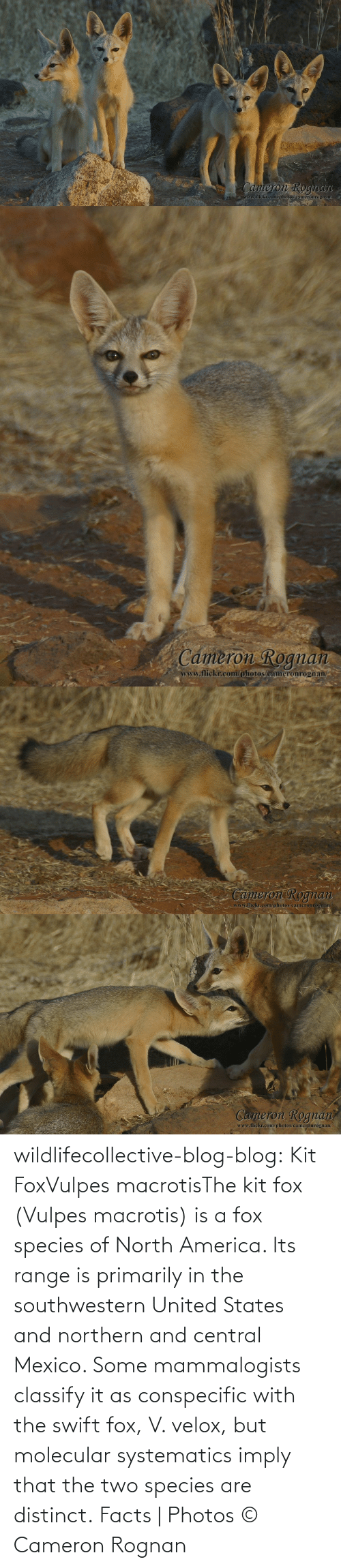 United: wildlifecollective-blog-blog:  Kit FoxVulpes macrotisThe kit fox (Vulpes macrotis) is a fox species of North America. Its range is primarily in the southwestern United States and northern and central Mexico. Some mammalogists classify it as conspecific with the swift fox, V. velox, but molecular systematics imply that the two species are distinct. Facts | Photos © Cameron Rognan