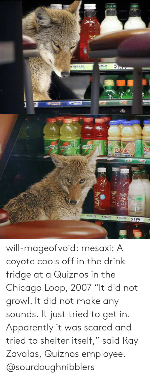 "Quiznos: will-mageofvoid:  mesaxi:  A coyote cools off in the drink fridge at a Quiznos in the Chicago Loop, 2007 ""It did not growl. It did not make any sounds. It just tried to get in. Apparently it was scared and tried to shelter itself,"" said Ray Zavalas, Quiznos employee.  @sourdoughnibblers"