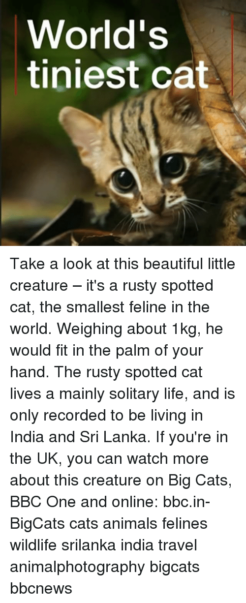 Animals, Beautiful, and Cats: World's  tiniest cat Take a look at this beautiful little creature – it's a rusty spotted cat, the smallest feline in the world. Weighing about 1kg, he would fit in the palm of your hand. The rusty spotted cat lives a mainly solitary life, and is only recorded to be living in India and Sri Lanka. If you're in the UK, you can watch more about this creature on Big Cats, BBC One and online: bbc.in-BigCats cats animals felines wildlife srilanka india travel animalphotography bigcats bbcnews