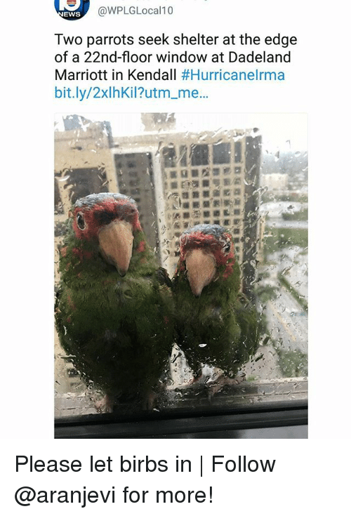 Memes, Marriott, and 🤖: @WPLGLocal10  EWS  Two parrots seek shelter at the edge  of a 22nd-floor window at Dadeland  Marriott in Kendall #HurricaneIrma  bit.ly/2xlhKil?utm_me..  窃  痑 Please let birbs in | Follow @aranjevi for more!
