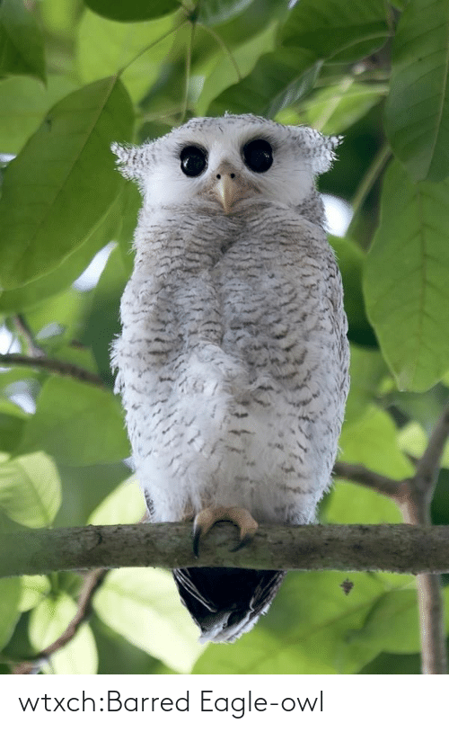 barred: wtxch:Barred Eagle-owl