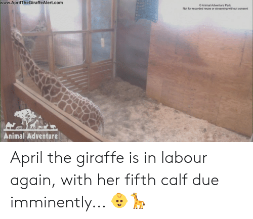 Dank, Animal, and Giraffe: www.AprilTheGiraffeAlert.com  O Animal Adventure Park  Not for recorded reuse or streaming without consent  Animal Adventure April the giraffe is in labour again, with her fifth calf due imminently... 👶🦒