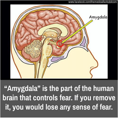 """Memes, 🤖, and Human: www.facebook.com/themedicalfactsdotcom  dala  """"Amygdala"""" is the part of the human  brain that controls fear. If you remove  it, you would lose any sense of fear."""