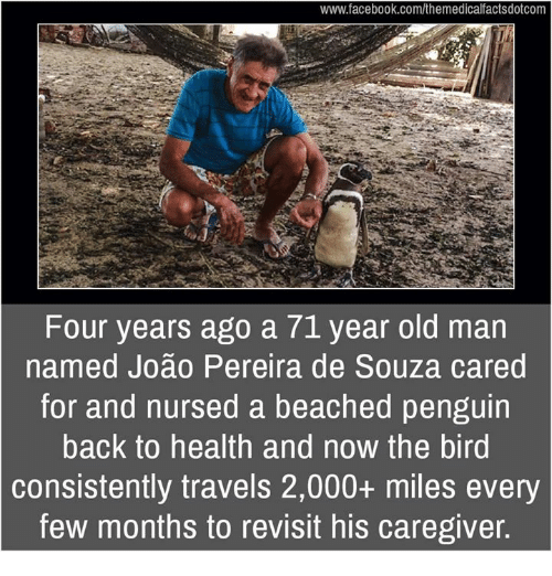 Facebook, Memes, and Old Man: www.facebook.com/themedicalfactsdotcom  Four years ago a 71 year old man  named Joao Pereira de Souza cared  for and nursed a beached penguin  back to health and now the bird  consistently travels 2,000+ miles every  few months to revisit his caregiver.