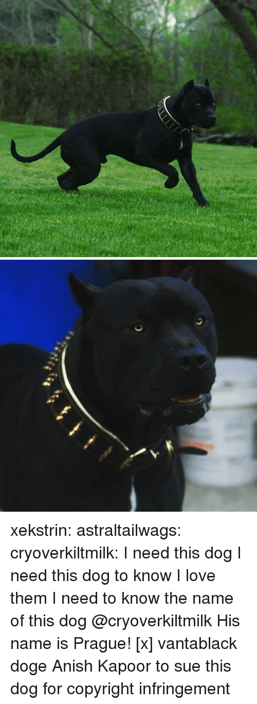 Doge, Love, and Tumblr: xekstrin: astraltailwags:  cryoverkiltmilk:  I need this dog I need this dog to know I love them I need to know the name of this dog  @cryoverkiltmilk  His name is Prague! [x]  vantablack doge  Anish Kapoor to sue this dog for copyright infringement