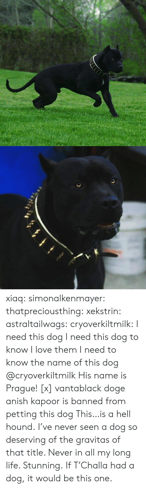 Prague: xiaq: simonalkenmayer:  thatpreciousthing:  xekstrin:  astraltailwags:  cryoverkiltmilk:  I need this dog I need this dog to know I love them I need to know the name of this dog  @cryoverkiltmilk  His name is Prague! [x]  vantablack doge   anish kapoor is banned from petting this dog  This…is a hell hound. I've never seen a dog so deserving of the gravitas of that title. Never in all my long life. Stunning.   If T'Challa had a dog, it would be this one.