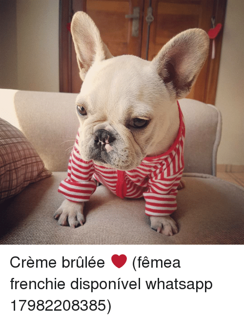 Memes, Whatsapp, and 🤖: xt  r Crème brûlée ❤ (fêmea frenchie disponível whatsapp 17982208385)