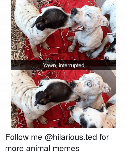 Funny, Memes, and Ted: Yawn, interrupted Follow me @hilarious.ted for more animal memes