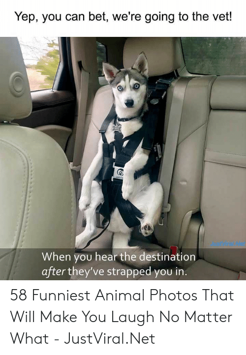 Animal, Net, and Bet: Yep, you can bet, we're going to the vet!  dustVira Not  When you hear the destination  after they've strapped you in. 58 Funniest Animal Photos That Will Make You Laugh No Matter What - JustViral.Net