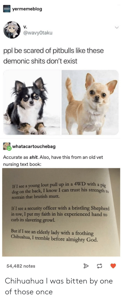 almighty: yermemeblog  V.  @wavyOtaku  ppl be scared of pitbulls like these  demonic shits don't exist  whatacartouchebag  Accurate as shit. Also, have this from an old vet  nursing text book  If I see a young lout pull up in a 4WD with a pig  dog on the back, I know I can trust his strength to  restrain that brutish mutt.  If I see a security officer with a bristling Shepherd  in tow, I put my faith in his experienced hand to  curb its slavering growl  But if I see an elderly lady with a frothing  Chihuahua, I tremble before almighty God.  54,482 notes Chihuahua I was bitten by one of those once