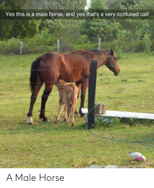 Confused, Horse, and Yes: Yes this is a male horse, and yes that's a very confused calf A Male Horse