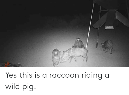 A Wild: Yes this is a raccoon riding a wild pig.