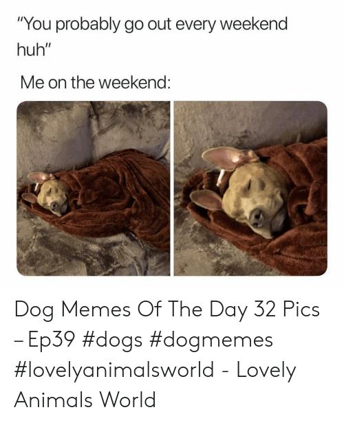 """Animals, Dogs, and Huh: """"You probably go out every weekend  huh""""  Me on the weekend: Dog Memes Of The Day 32 Pics – Ep39 #dogs #dogmemes #lovelyanimalsworld - Lovely Animals World"""