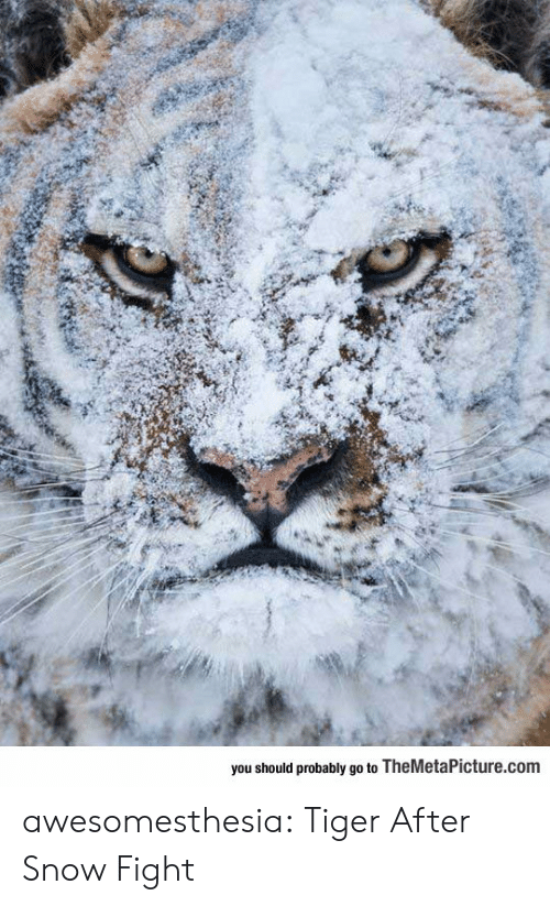 Tumblr, Blog, and Snow: you should probably go to TheMetaPicture.com awesomesthesia:  Tiger After Snow Fight