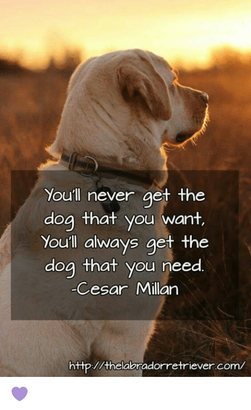 Memes, Http, and Never: You'll never aet the  dog that you want  Youll always get the  dog that you need  Cesar Millan  http://thelabradorretriever.com/ 💜