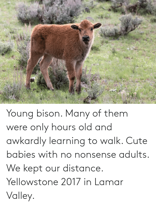 Nonsense: Young bison. Many of them were only hours old and awkardly learning to walk. Cute babies with no nonsense adults. We kept our distance. Yellowstone 2017 in Lamar Valley.