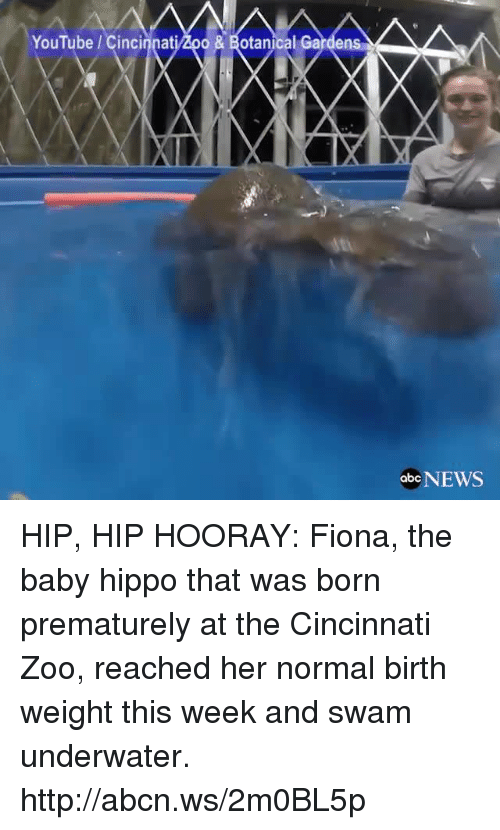 Hippoe: YouTube Cinci  od & Botanical Gardens  obc NEWS HIP, HIP HOORAY: Fiona, the baby hippo that was born prematurely at the Cincinnati Zoo, reached her normal birth weight this week and swam underwater. http://abcn.ws/2m0BL5p