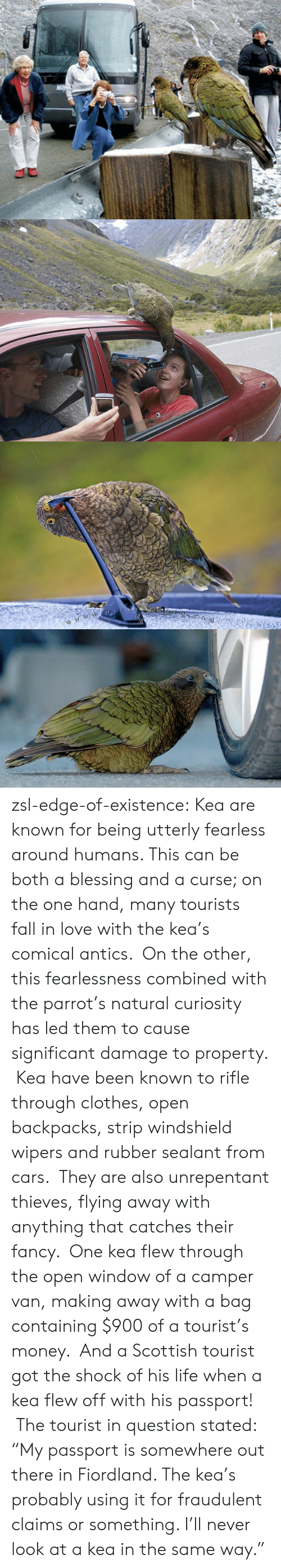 """comical: zsl-edge-of-existence:  Kea are known for being utterly fearless around humans. This can be both a blessing and a curse; on the one hand, many tourists fall in love with the kea's comical antics. On the other, this fearlessness combined with the parrot's natural curiosity has led them to cause significant damage to property. Kea have been known to rifle through clothes, open backpacks, strip windshield wipers and rubber sealant from cars. They are also unrepentant thieves, flying away with anything that catches their fancy. One kea flew through the open window of a camper van, making away with a bag containing $900 of a tourist's money. And a Scottish tourist got the shock of his life when a kea flew off with his passport! The tourist in question stated: """"My passport is somewhere out there in Fiordland. The kea's probably using it for fraudulent claims or something. I'll never look at a kea in the same way."""""""